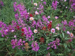 Fireweed Asters and Paintbrush , North America by Tim Fitzharris