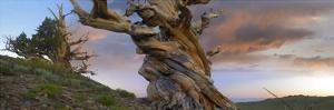 Foxtail Pine tree, twisted trunk of an ancient tree, Sierra Nevada, California by Tim Fitzharris