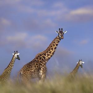 Giraffe at Sunset, Kenya, Africa by Tim Fitzharris