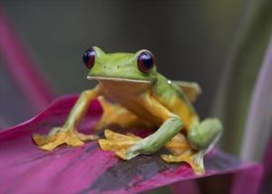 Gliding Leaf Frog portrait, Costa Rica by Tim Fitzharris