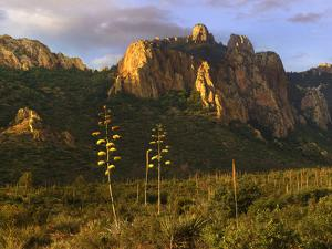 Golden light covers Century plants and the Chisos Mountains, Big Bend National Park, Texas by Tim Fitzharris