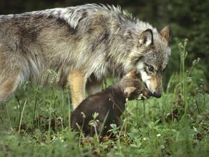 Gray Wolf Mother Feeding Her Pup, Montana by Tim Fitzharris
