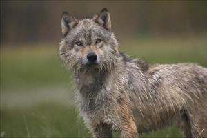 Gray Wolf , North America by Tim Fitzharris