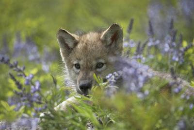 Gray Wolf Pup Hidden in Flowers, Montana by Tim Fitzharris