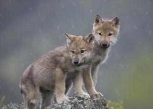 Gray Wolf pups in light snowfall, North America by Tim Fitzharris