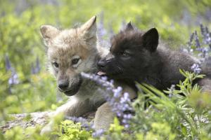 Gray Wolf Pups, Spring, Montana by Tim Fitzharris