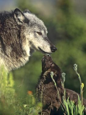Gray Wolf with a Pup Licking its Muzzle, a Way to Ask for Food, Montana by Tim Fitzharris