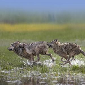 Gray Wolves Running Together, Montana by Tim Fitzharris