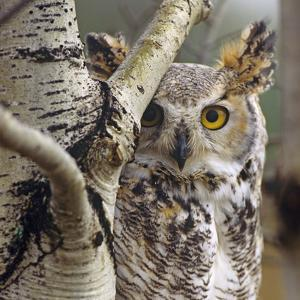 Great Horned Owl Pale From, British Columbia, Canada by Tim Fitzharris