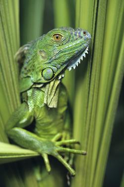 Green Iguana Blending into the Plants, Honduras by Tim Fitzharris