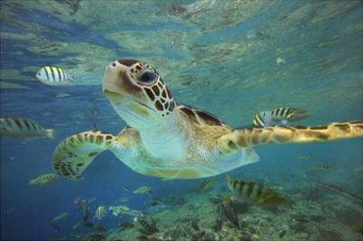 Green Sea Turtle, Balicasag Island, Philippines