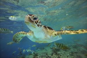 Green Sea Turtle, Balicasag Island, Philippines by Tim Fitzharris