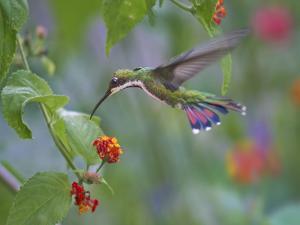 Green-throated mango Hummingbird, Yerette, Trinidad. ? by Tim Fitzharris