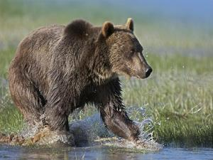 Grizzly Bear running through water, North America by Tim Fitzharris