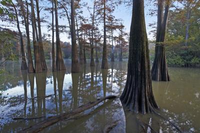Grove of Bald Cypress trees in water, White River National Wildlife Refuge, Arkansas. by Tim Fitzharris