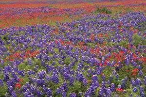 Hill Country wildflowers including Sand Bluebonnets and Paintbrush, Texas by Tim Fitzharris