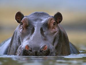 Hippopotamus, Kenya, Africa by Tim Fitzharris