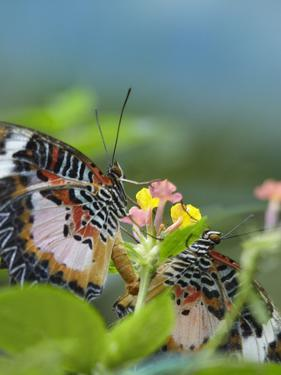 Indian Lacewing Butterflies Mating on Lantana, Philippines by Tim Fitzharris