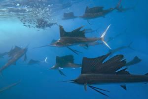 Indo-Pacific Sailfish group hunting for sardines, Isla Mujeres, Mexico. by Tim Fitzharris