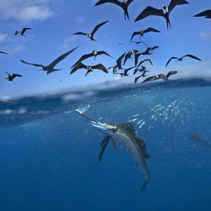 Indo-Pacific Sailfish, Istiophorus platypterus, frigatebirds and sardines, Isla Mujeres, Mexico. by Tim Fitzharris