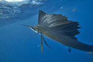 Indo-Pacific Sailfish looking at a school of sardines, Isla Mujeres, Mexico. by Tim Fitzharris