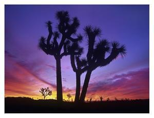 Joshua Trees at sunrise near Quail Springs, Joshua Tree National Park, California by Tim Fitzharris
