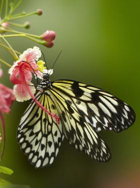 Large Tree Nymph Butterfly Drinking Nectar, Philippines by Tim Fitzharris