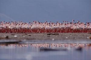 Lesser Flamingo flock parading in a mass courtship dance, Lake Bogoria, Kenya by Tim Fitzharris