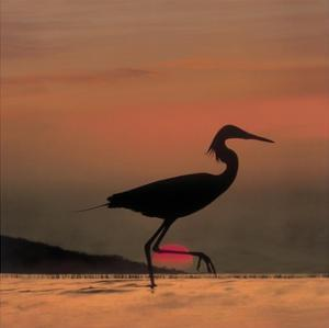 Little Egret silhouetted at sunset, Africa by Tim Fitzharris