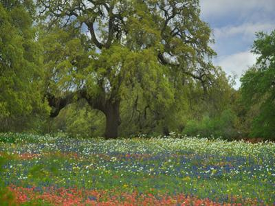 Live Oak and wildflowers, Atascosa County, Texas by Tim Fitzharris