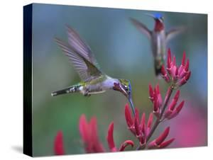 Long-billed Starthroat Hummingbird, Yerette, Trinidad. ? by Tim Fitzharris