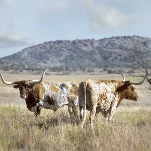 Longhorn Cattle, Texas, Usa by Tim Fitzharris