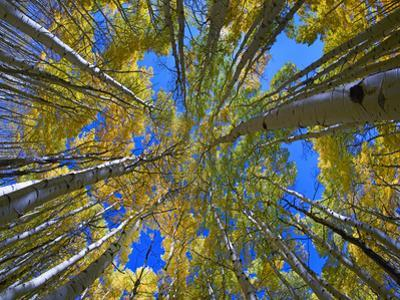 Looking up through Aspens to the sky, Kebler Pass, Colorado by Tim Fitzharris