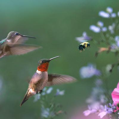 Male and female Ruby-throated Hummingbirds, with bumble bee, Arkansas, USA by Tim Fitzharris