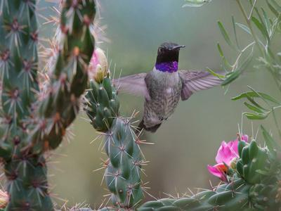 Male Black-chinned Hummingbird among cholla cactus, New Mexico, USA