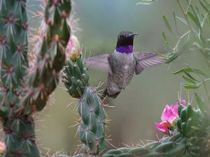Male Black-chinned Hummingbird among cholla cactus, New Mexico, USA by Tim Fitzharris