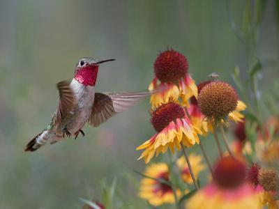 Male Broad-tailed Hummingbird at gaillardia, New Mexico