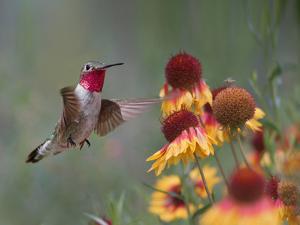 Male Broad-tailed Hummingbird at gaillardia, New Mexico by Tim Fitzharris