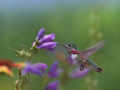 Male Calliope Hummingbird feeding at Penstemon, New Mexico, USA by Tim Fitzharris
