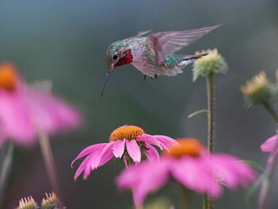 Male Ruby-throated Hummingbird foraging for nectar, Arkansas