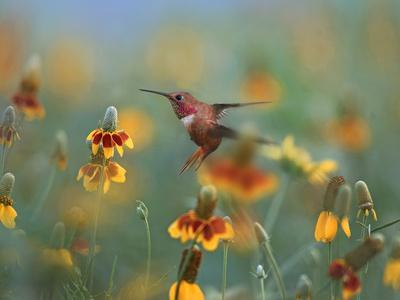 Male Rufous Hummingbird among Mexican hat wildflowers, New Mexico, USA