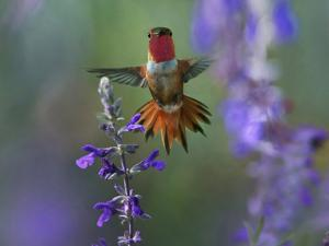 Male Rufous Hummingbird among penstemonis, New Mexico, USA by Tim Fitzharris