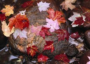 Maple leaves in Sable Creek, Pictured Rocks National Lakeshore, Michigan by Tim Fitzharris