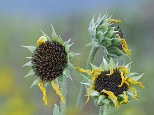 Mature Prairie Sunflowers by Tim Fitzharris