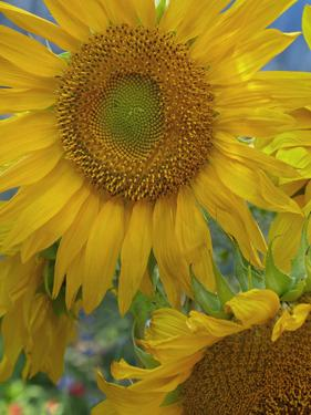 Maturing Sunflowers, California by Tim Fitzharris