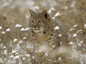 Bobcat (Lynx Rufus) Camouflaged in Snowy Meadow, Montana by Tim Fitzharris/Minden Pictures