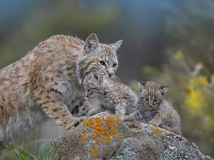 Mother Bobcat with Her Kittens, Montana, Usa by Tim Fitzharris