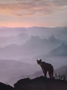 Mountain Lion in Canyonlands National Park, Summer, Utah by Tim Fitzharris