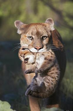 Mountain Lion mother carrying cub in her mouth, North America by Tim Fitzharris