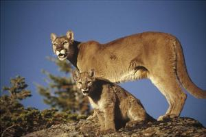 Mountain Lion or Cougar mother with kitten, North America, captive animal by Tim Fitzharris